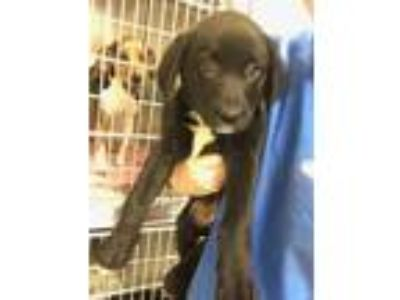 Adopt ZOEY a Black - with White Labrador Retriever / Mixed dog in Fayetteville