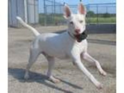 Adopt Tru a White - with Brown or Chocolate Shepherd (Unknown Type) / Cattle Dog