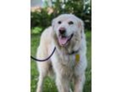 Adopt Maybelle a Great Pyrenees, Golden Retriever