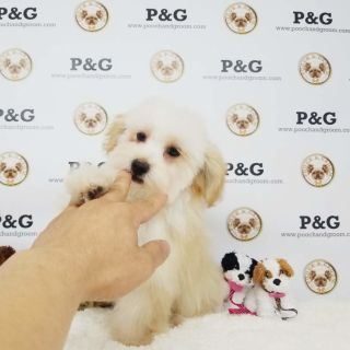 Poodle (Toy)-Maltese Mix PUPPY FOR SALE ADN-78204 - Lily