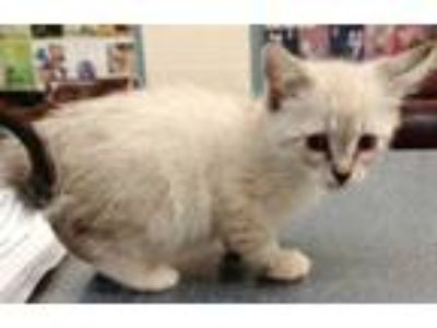 Adopt Polly (Avail 6-15) a White Siamese / Domestic Shorthair / Mixed cat in