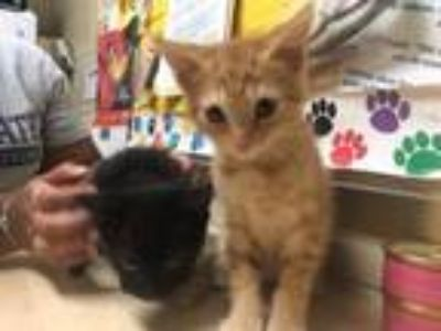 Adopt Chip & Nacho - Foster care a Domestic Short Hair