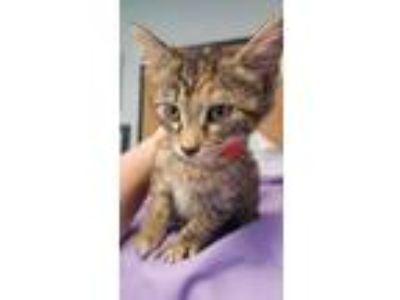 Adopt MERIDA a Brown Tabby Domestic Shorthair (short coat) cat in Cleveland
