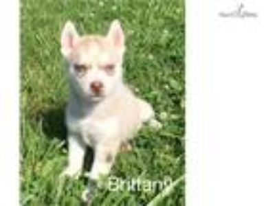 Brittany - Female - Limited AKC