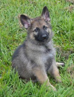 German Shepherd Dog PUPPY FOR SALE ADN-101962 - Quality German Shepherds working lines