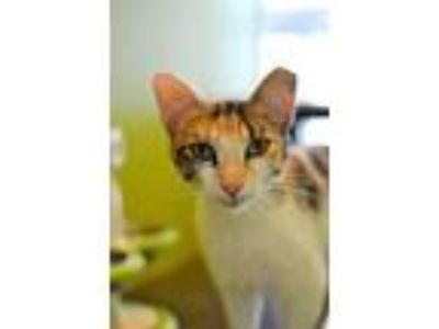 Adopt Key Lime a White Domestic Shorthair / Domestic Shorthair / Mixed (short