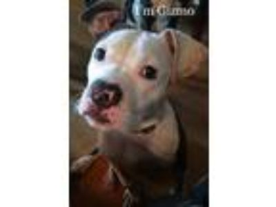 Adopt Gizmo a American Staffordshire Terrier