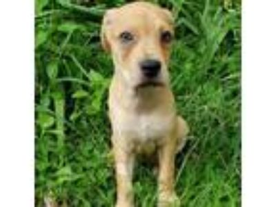 Adopt Monaco a Tan/Yellow/Fawn Catahoula Leopard Dog dog in Gainesville