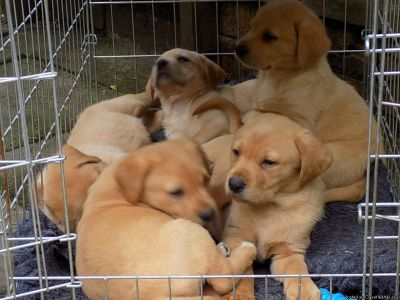 Chunky Labrador Puppies for new homes