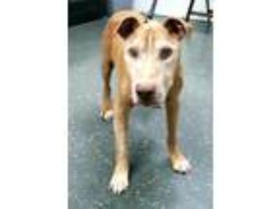 Adopt HARRY 38121 a Pit Bull Terrier