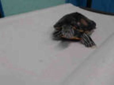 Adopt a Turtle - Other / Mixed reptile, amphibian, and/or fish in Gardena