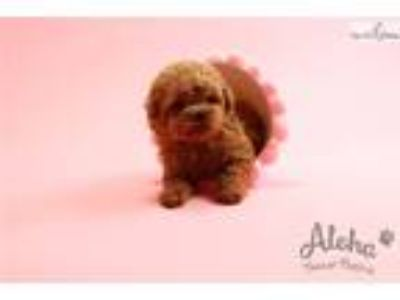 Micro Teacup Poodle Puppies For Sale - Macaron