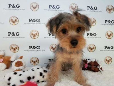 Yorkshire Terrier PUPPY FOR SALE ADN-104601 - YORKSHIRE TERRIER WILLIAM MALE