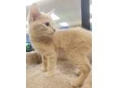 Adopt Nintendo a Cream or Ivory Domestic Shorthair (short coat) cat in Kennesaw