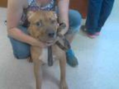 Adopt NATHAN a Brown/Chocolate - with White Bullmastiff / Mixed dog in Palmetto