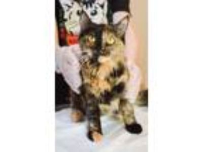 Adopt Sarabi a Domestic Long Hair, Tortoiseshell