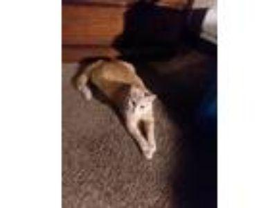 Adopt Simba a Orange or Red Domestic Longhair cat in La Crosse, WI (25570437)
