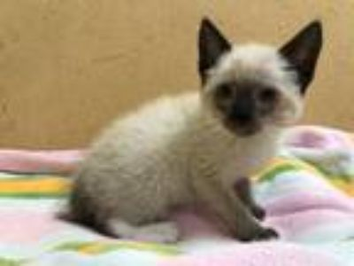 Adopt TEQUILA a Siamese, Snowshoe