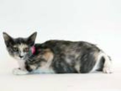 Adopt JELLY BEAN a Brown or Chocolate (Mostly) Domestic Shorthair / Mixed (short
