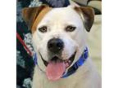 Adopt Rocco a White American Pit Bull Terrier / Rottweiler / Mixed dog in