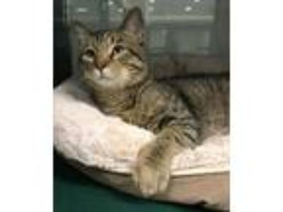 Adopt Jim a Gray or Blue (Mostly) Domestic Shorthair / Mixed (short coat) cat in