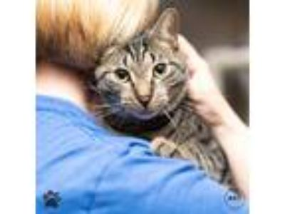 Adopt Houdini a Domestic Shorthair / Mixed cat in Richmond, VA (25330489)