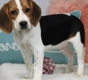 accommodating Beagle puppies available