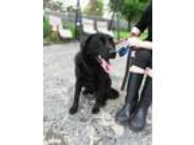 Adopt Sterling a Black Labrador Retriever