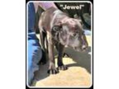 Adopt Jewel a Black Labrador Retriever / Mixed dog in Denison, TX (25551289)