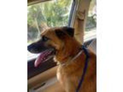 Adopt Macho a Tan/Yellow/Fawn Shepherd (Unknown Type) / Mixed dog in Edgewater