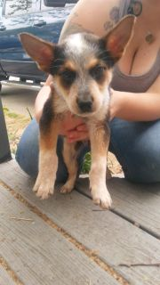 Male full blooded heeler puppy