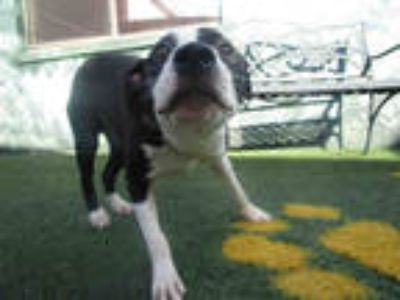 Adopt SAM a White Boxer / Mixed dog in Winter Haven, FL (24594845)