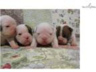 AKC Grand Champion Sired English Bulldog Puppies