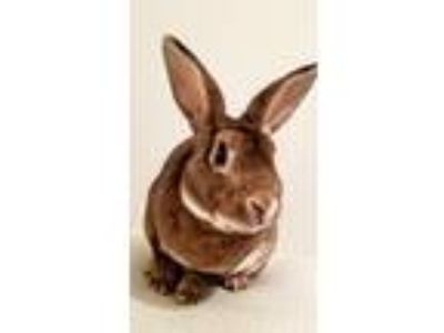 Adopt Bugs a Cinnamon American / Mixed rabbit in Staten Island, NY (25585293)