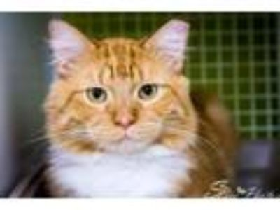 Adopt Catsby a Domestic Short Hair, Tabby