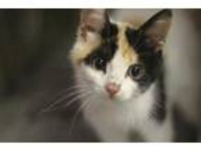 Adopt Camilla a White Domestic Shorthair / Domestic Shorthair / Mixed cat in