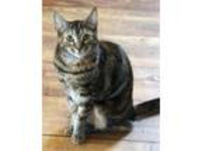 Adopt Nora a Domestic Shorthair / Mixed cat in Calverton, NY (11135750)