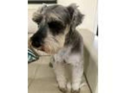 Adopt Paco a Gray/Blue/Silver/Salt & Pepper Schnauzer (Miniature) / Mixed dog in