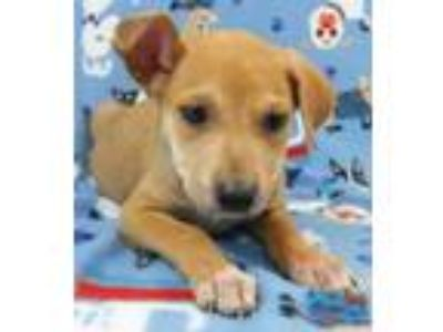 Adopt Tot a Australian Cattle Dog / Blue Heeler