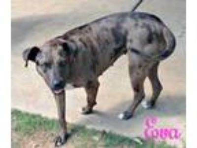 Adopt Eva a Catahoula Leopard Dog, Pit Bull Terrier