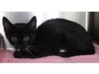 Adopt Yoshino a Domestic Short Hair