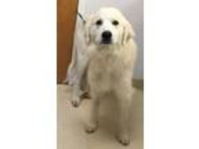 Adopt Greta a White Great Pyrenees / Mixed dog in Loudon, TN (25658889)