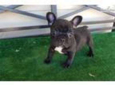 AKC French Bulldog Boys