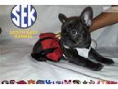 French Bulldog puppy for sale champion bloodline