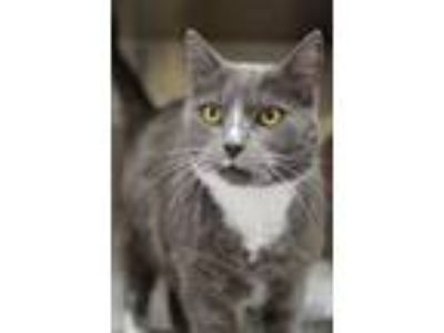 Adopt Ashe a Domestic Short Hair