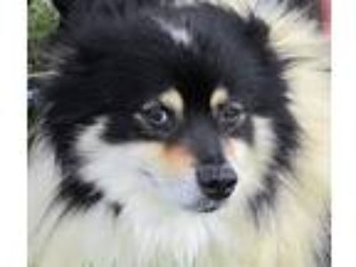 Adopt Mongo a White - with Black Sheltie, Shetland Sheepdog / Mixed dog in