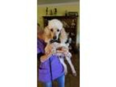 Adopt Giorgio a Tan/Yellow/Fawn Miniature Poodle / Mixed dog in Hartwell