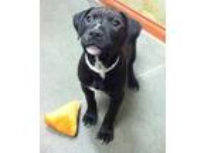 Adopt Cuddles a Black Labrador Retriever / American Pit Bull Terrier / Mixed dog