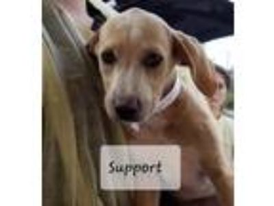 Adopt Support a Tan/Yellow/Fawn - with White Labrador Retriever dog in MCLEAN