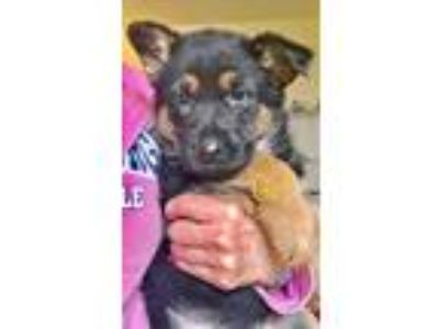 Adopt Tess and her sisters a Black - with Tan, Yellow or Fawn German Shepherd